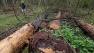 Das Ende eines Urwalds: gefällte Bäume in Bialowieza