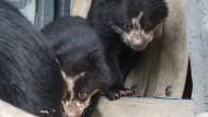 Brillenbär-Babys begeistern Frankfurter Zoo