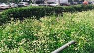 Wiese statt Rasen: An der Mörfelder Landstraße sieht das Straßenbegleitgrün schon neu und anders aus.