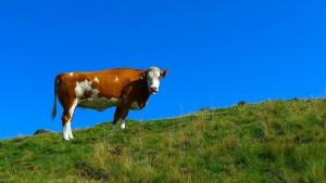 So rülpsen Kühe weniger