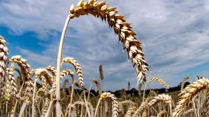 Wissenschaftler entschlüsseln Weizen-Erbgut