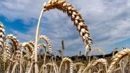 Reifer Weizen auf einem Feld.