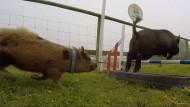 Zwergschweine sollen Referendum vorhersagen