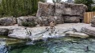 Fast wie in freier Natur: Felsstrand mit Höhlen für die ersten Bewohner der Pinguinanlage im Frankfurter Zoo
