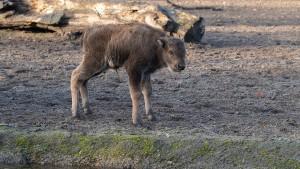 Wisentbaby im Berliner Tierpark geboren