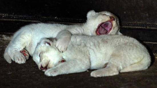 Weiße Löwenbabys geboren