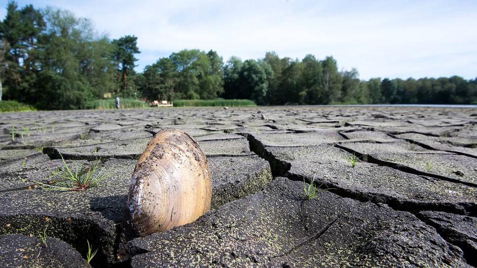 Eine Muschel steckt im geborstenen Boden des ausgetrockneten Würmsees