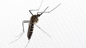 Asiatische Stechmücken in Wiesbaden gefunden