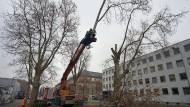 Baum fällt: Die Arbeiten an der Zufahrt zur Wilhelmstraße bedeuten das Ende für zwölf Platanen.