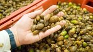 Eicheln satt: Der trockene Sommer hat die Samenernte bei Eichen, Weißtannen und Douglasien nicht beeinträchtigt.