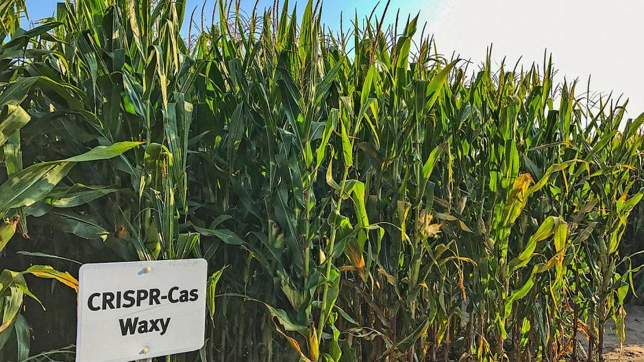 Auf Feldern wie diesem in Iowa wachsen bereits Crispr-Pflanzen. (Archivbild)