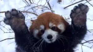 Rote Pandas toben im Schnee