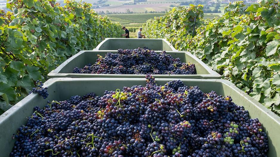 September ist Spätburgunderzeit: Im Weingut Braunewell werden die Reben geerntet.