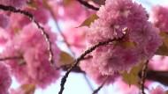 Blütenrausch am Rhein