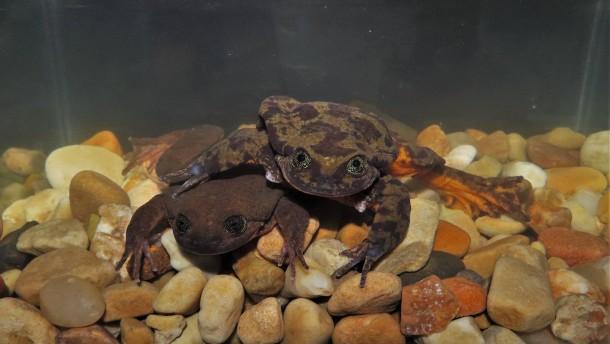 Einsamster Frosch der Welt hat jetzt eine Freundin
