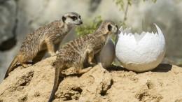 Erdmännchen auf Eiersuche