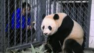 Einwanderer mit Migrationshintergrund: Riesenpanda Bao Bao ist jetzt Chinese.