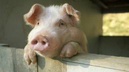 Nur ein totes Schwein ist ein freies Schwein