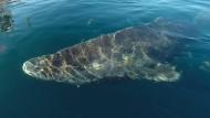 Grönlandhai ist ältestes Wirbeltier der Welt
