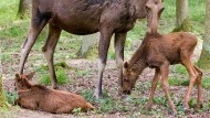 Der Elch-Nachwuchs mit ihrer Mutter Daya.