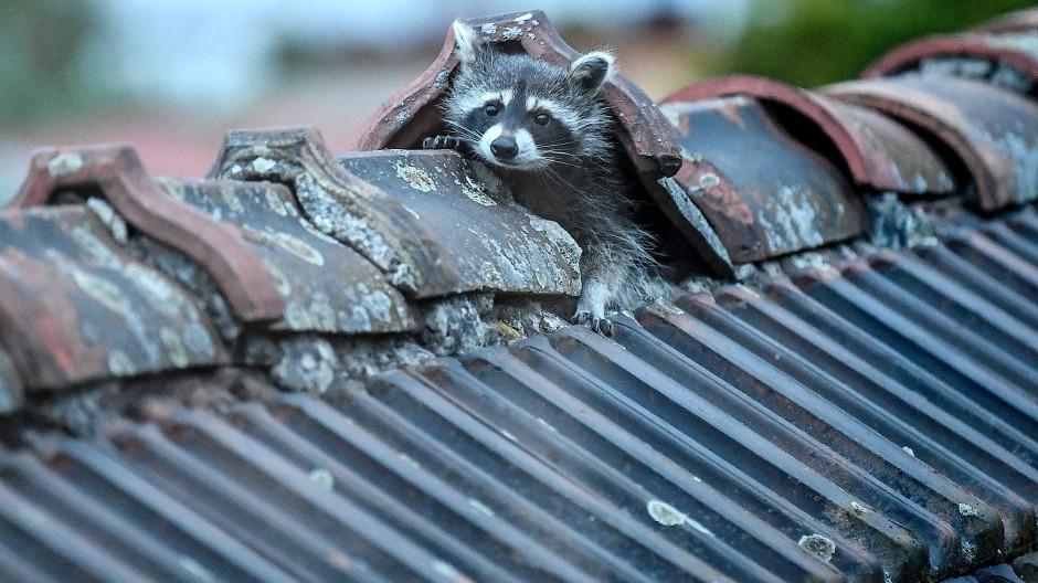 Ein Waschbär krabbelt aus seinem Versteck auf einem Berliner dem Dach. Die Population in der Hauptstadt wird inzwischen auf hunderte Tiere geschätzt.