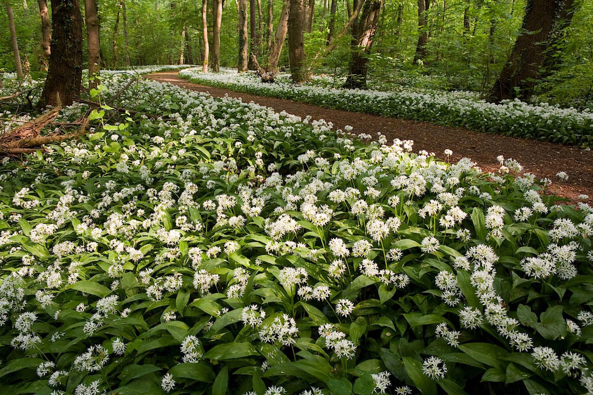 Bärlauch pankow botanischer volkspark Auf der