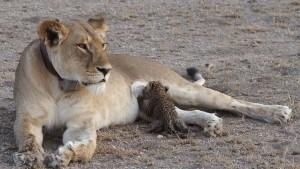 Löwenmutter adoptiert Leopardenjunges
