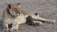 """""""Nosikitok"""" säugt ihr adoptiertes Leopardenbaby."""