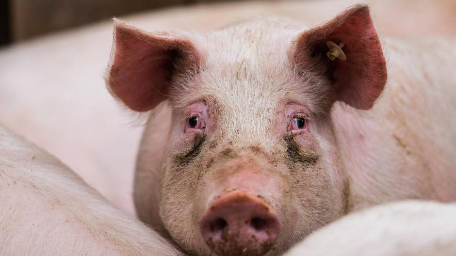 Afrikanische Schweinepest bei Hausschweinen entdeckt