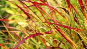 Im September färbt sich das Laub der Rutenhirse rot.