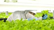 Roboter statt Salat-Bauern