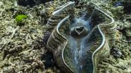 Große Riesenmuschel im australischen Great Barrier Reef: Sie werden bis zu anderthalb Meter lang und fast eine Tonne schwer.