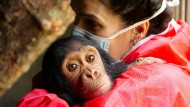 Affenbande: Die Tierärtin Thalita Simões Calui behandelt einen Schimpansen in Chimfunshi.