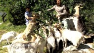 Afghanen hüten Ziegen in Schweden