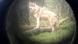 Rodewalder Wolf kann getötet werden