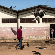 Nah bei den Menschen: Kappengeier sind eigentlich Aasfresser, ernähren sich inzwischen aber auch gerne von dem, was sie am Rande von Siedlungen finden. Hier warten sie auf Schlachtabfälle eines Schlachthofs in Bissau.