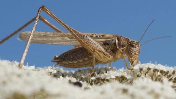 Riesige Heuschrecken-Schwärme suchen Las Vegas heim