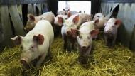 Schweine auf einem Biohof in Langenhorn, Schleswig-Holstein