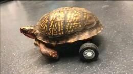 Schildkröte auf Rädern