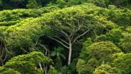 Dichter Atlantischer Regenwald auf der Ilha do Cardoso im brasilianischen Bundesstaat Sao Paulo