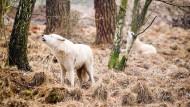 Pfauen, Elche und weiße Wölfe