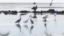 200 Seeadler treffen sich zum Fressen