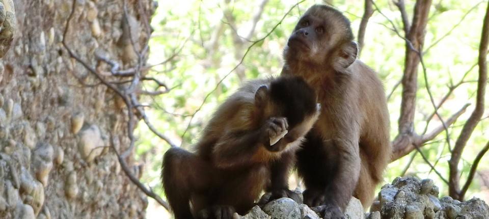Faustkeile Aus Dem Urwald Diese Affen Leben In Der Steinzeit