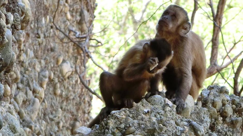 Schlag auf Schlag: Kapuzineraffen beim Steine zertrümmern