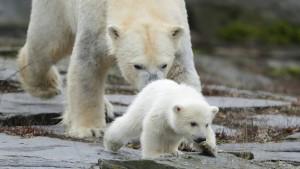 Eisbärenbaby wagt ersten Ausflug