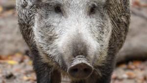 Wildschwein greift Fußgänger an