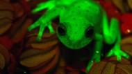 Dieser Frosch leuchtet im Dunkeln