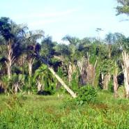 Abholzung eines Waldes in Uganda