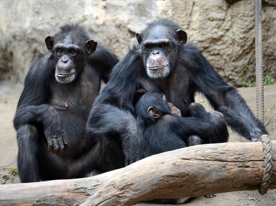 Halb Tierpark, halb Forschungszentrum: Schimpansen im Pongoland des Leipziger Zoo.