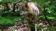 Rückkehrer: Dieser Wolf lebt in der Fasanerie Wiesbaden, doch bald wird Canis lupus in Hessen auch in freier Wildbahn wieder zu Hause sein.
